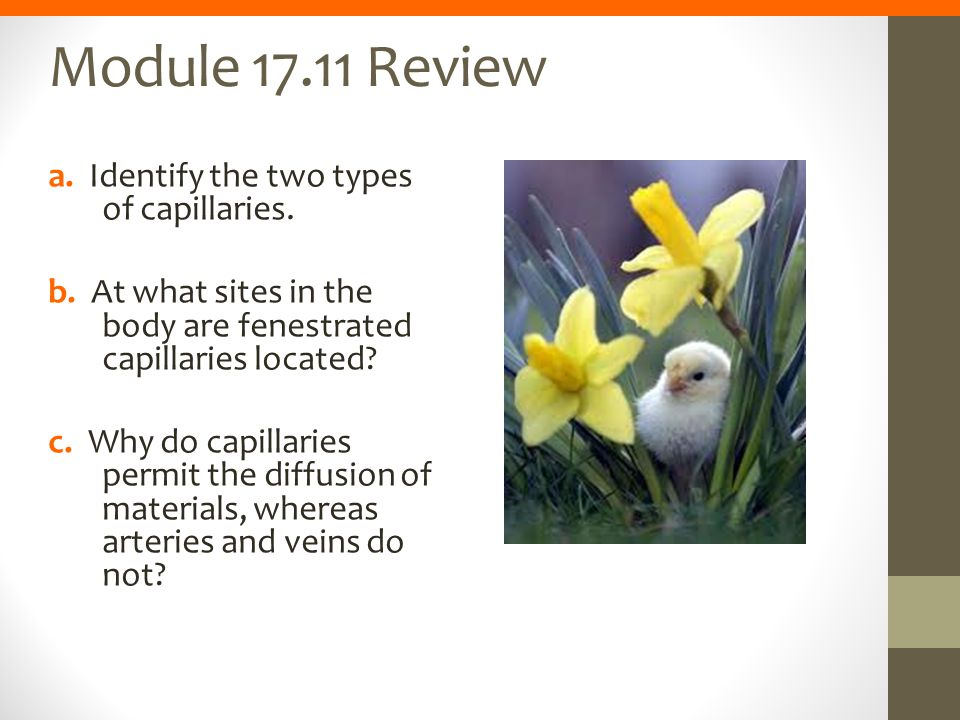 Module 17.11 Review a. Identify the two types of capillaries. b. At what sites in the body are fenestrated capillaries located? c. Why do capillaries
