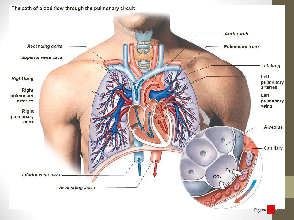 Figure 17.13 3 Ascending aorta Superior vena cava Right lung Right pulmonary arteries Right pulmonary veins Inferior vena cava Descending aorta Aortic