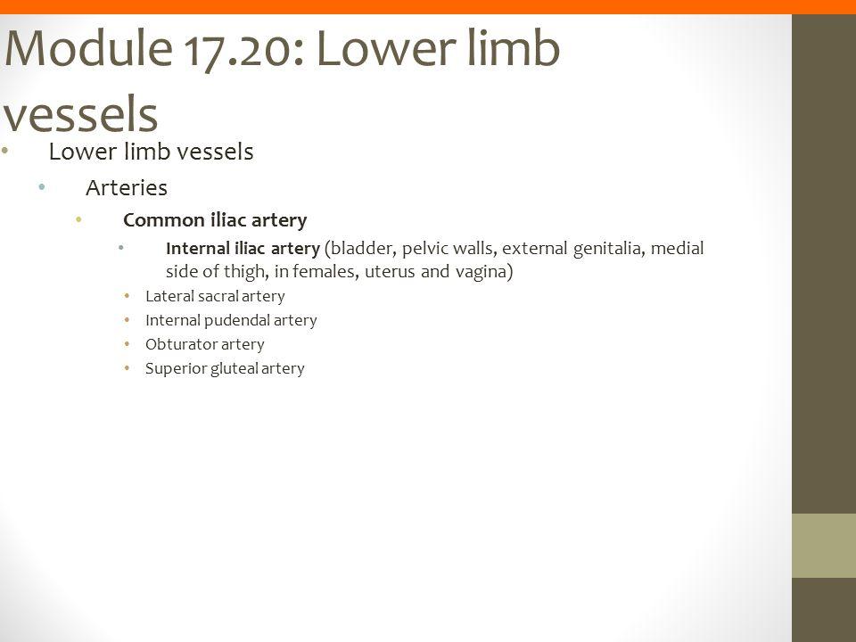 Module 17.20: Lower limb vessels Lower limb vessels Arteries Common iliac artery Internal iliac artery (bladder, pelvic walls, external genitalia, med