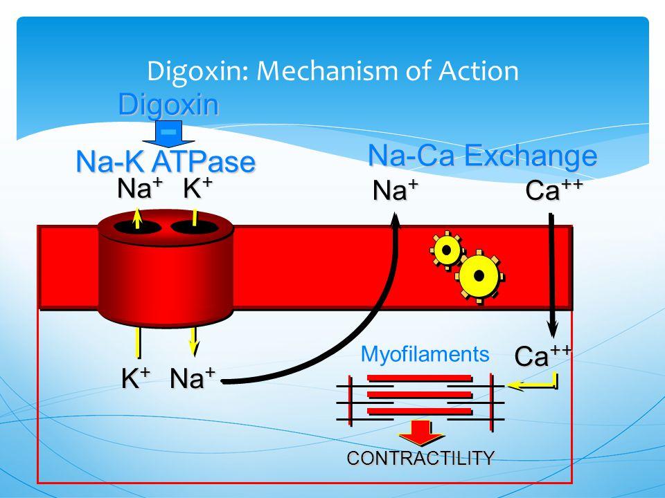 Na + K+K+K+K+ K+K+K+K+ Ca ++ Na-K ATPase Na-Ca Exchange Myofilaments Digoxin CONTRACTILITY Digoxin: Mechanism of Action -