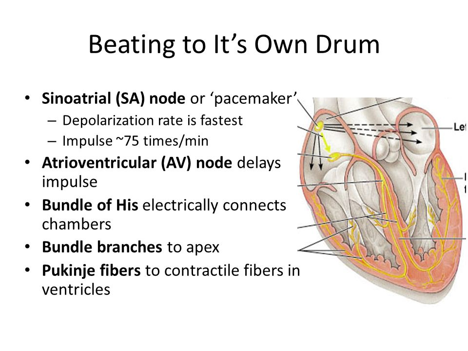 Beating to It's Own Drum Sinoatrial (SA) node or 'pacemaker' – Depolarization rate is fastest – Impulse ~75 times/min Atrioventricular (AV) node delays impulse Bundle of His electrically connects chambers Bundle branches to apex Pukinje fibers to contractile fibers in ventricles