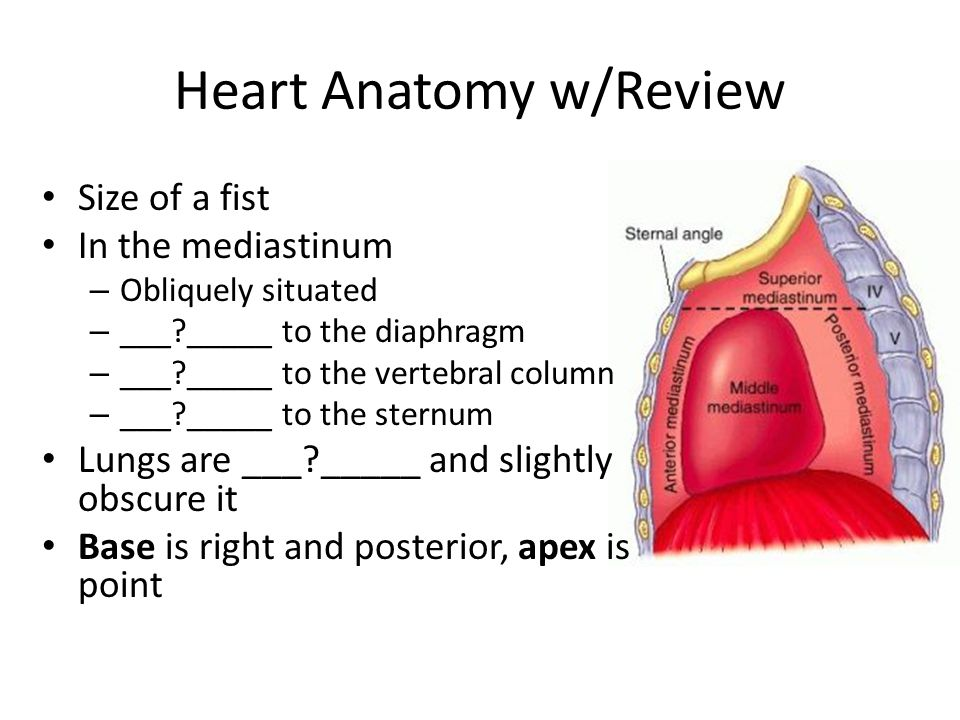 Heart Anatomy w/Review Size of a fist In the mediastinum – Obliquely situated – ___?_____ to the diaphragm – ___?_____ to the vertebral column – ___?_____ to the sternum Lungs are ___?_____ and slightly obscure it Base is right and posterior, apex is point