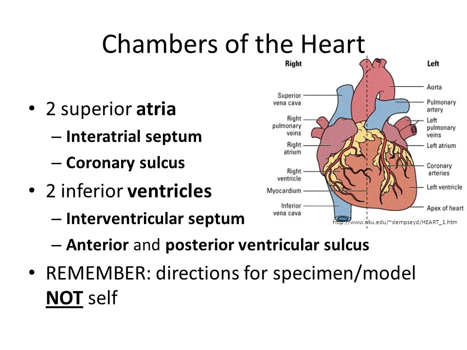 Chambers of the Heart 2 superior atria – Interatrial septum – Coronary sulcus 2 inferior ventricles – Interventricular septum – Anterior and posterior ventricular sulcus REMEMBER: directions for specimen/model NOT self http://www.nku.edu/~dempseyd/HEART_1.htm