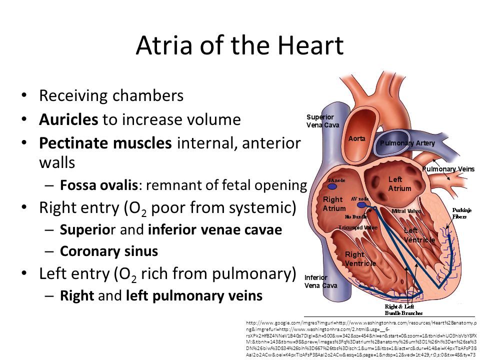 Atria of the Heart http://www.google.com/imgres?imgurl=http://www.washingtonhra.com/resources/Heart%2Banatomy.p ng&imgrefurl=http://www.washingtonhra.com/2.html&usg=__6- rsXPk2HfBZ4NNeV1B4Gs7DIgI=&h=500&w=342&sz=454&hl=en&start=0&zoom=1&tbnid=hUO3hlsVbY8FX M:&tbnh=143&tbnw=98&prev=/images%3Fq%3Datrium%2Banatomy%26um%3D1%26hl%3Den%26sa%3 DN%26biw%3D834%26bih%3D667%26tbs%3Disch:1&um=1&itbs=1&iact=rc&dur=414&ei=K4pxTIzAFsP38 AaI2o2ACw&oei=K4pxTIzAFsP38AaI2o2ACw&esq=1&page=1&ndsp=12&ved=1t:429,r:0,s:0&tx=48&ty=73 Receiving chambers Auricles to increase volume Pectinate muscles internal, anterior walls – Fossa ovalis: remnant of fetal opening Right entry (O 2 poor from systemic) – Superior and inferior venae cavae – Coronary sinus Left entry (O 2 rich from pulmonary) – Right and left pulmonary veins