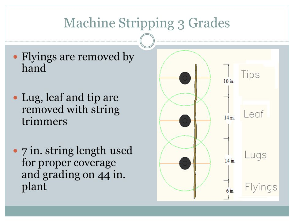 Machine Stripping 3 Grades Flyings are removed by hand Lug, leaf and tip are removed with string trimmers 7 in.