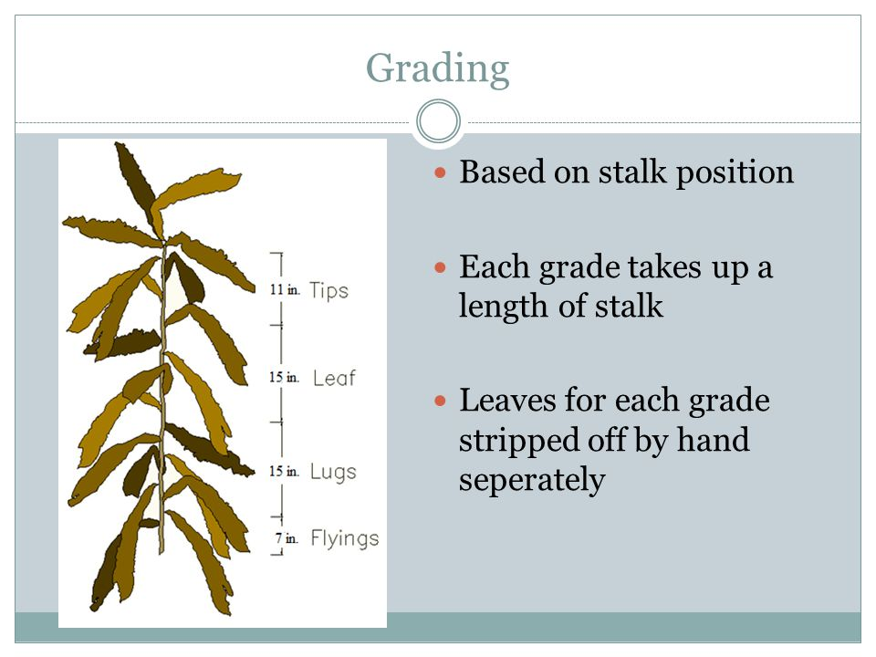 Grading Based on stalk position Each grade takes up a length of stalk Leaves for each grade stripped off by hand seperately