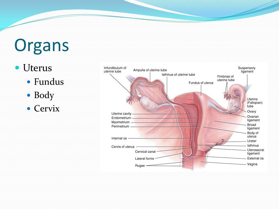Organs Uterus Fundus Body Cervix