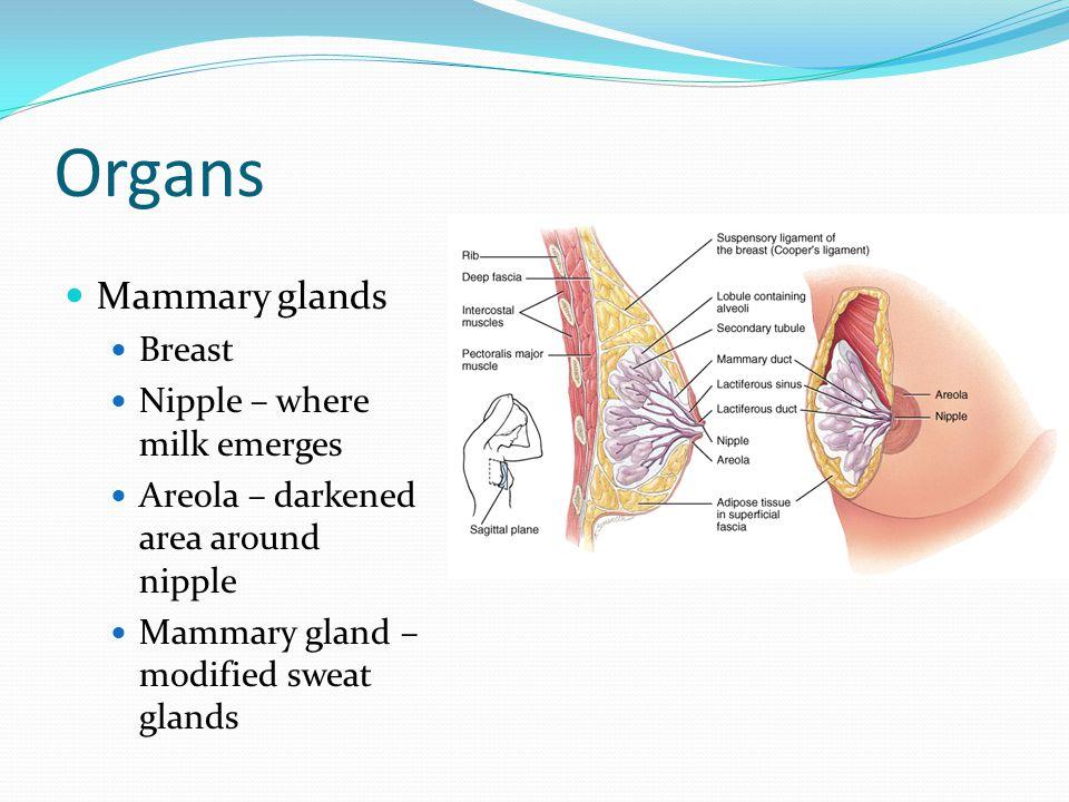 Organs Mammary glands Breast Nipple – where milk emerges Areola – darkened area around nipple Mammary gland – modified sweat glands