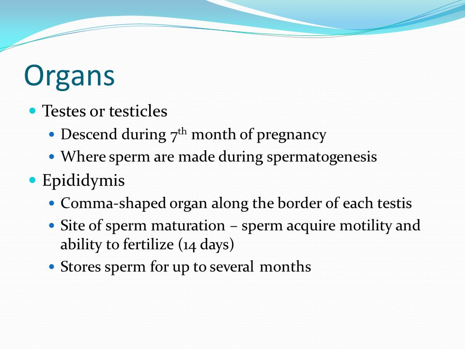 Organs Testes or testicles Descend during 7 th month of pregnancy Where sperm are made during spermatogenesis Epididymis Comma-shaped organ along the