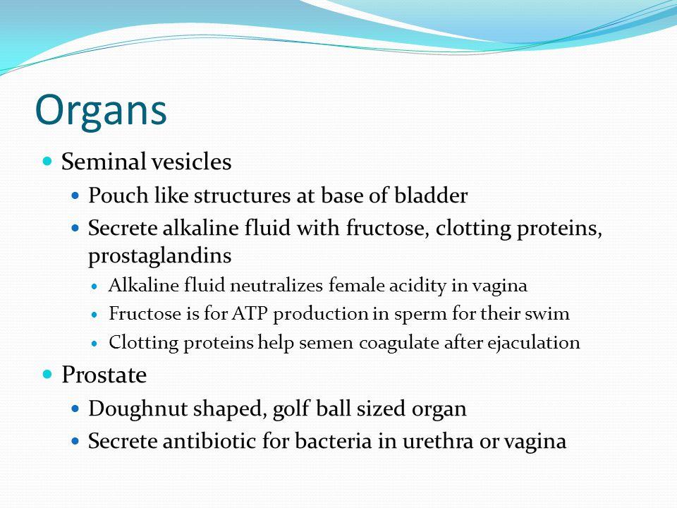 Organs Seminal vesicles Pouch like structures at base of bladder Secrete alkaline fluid with fructose, clotting proteins, prostaglandins Alkaline flui