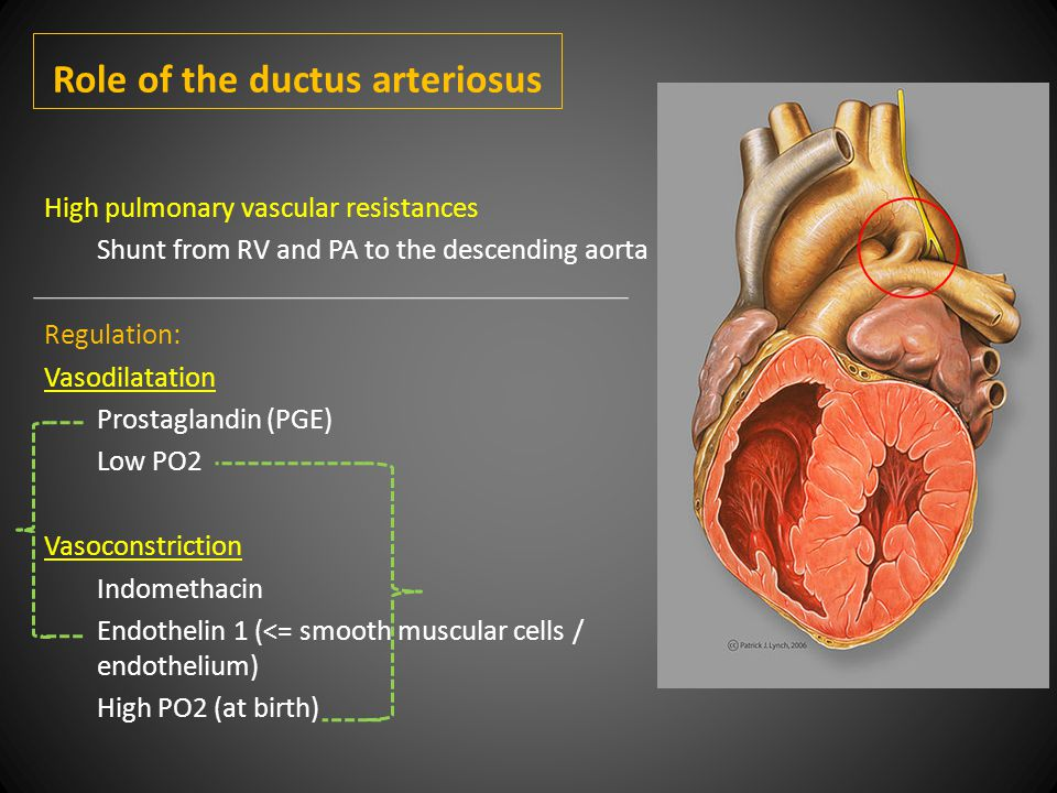 Role of the ductus arteriosus High pulmonary vascular resistances Shunt from RV and PA to the descending aorta Regulation: Vasodilatation Prostaglandin (PGE) Low PO2 Vasoconstriction Indomethacin Endothelin 1 (<= smooth muscular cells / endothelium) High PO2 (at birth)