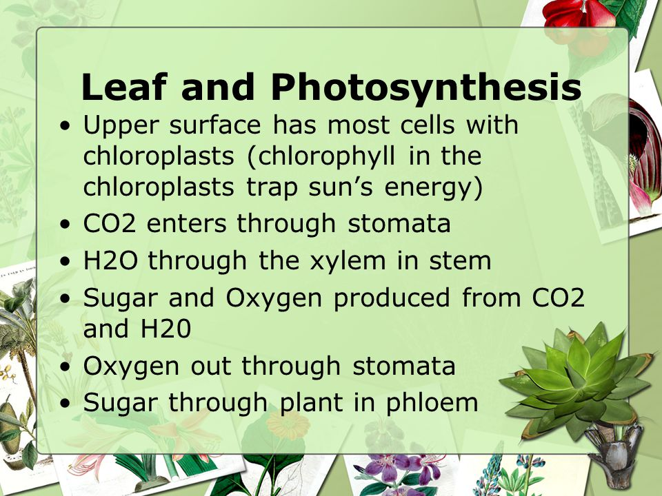 Leaf and Photosynthesis Upper surface has most cells with chloroplasts (chlorophyll in the chloroplasts trap sun's energy) CO2 enters through stomata