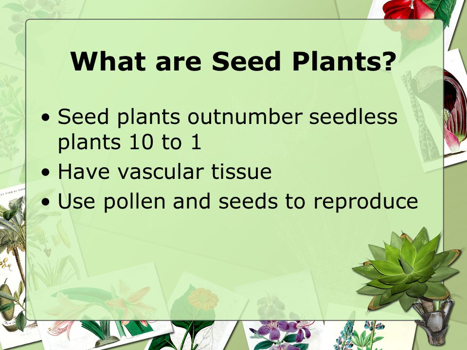 What are Seed Plants? Seed plants outnumber seedless plants 10 to 1 Have vascular tissue Use pollen and seeds to reproduce