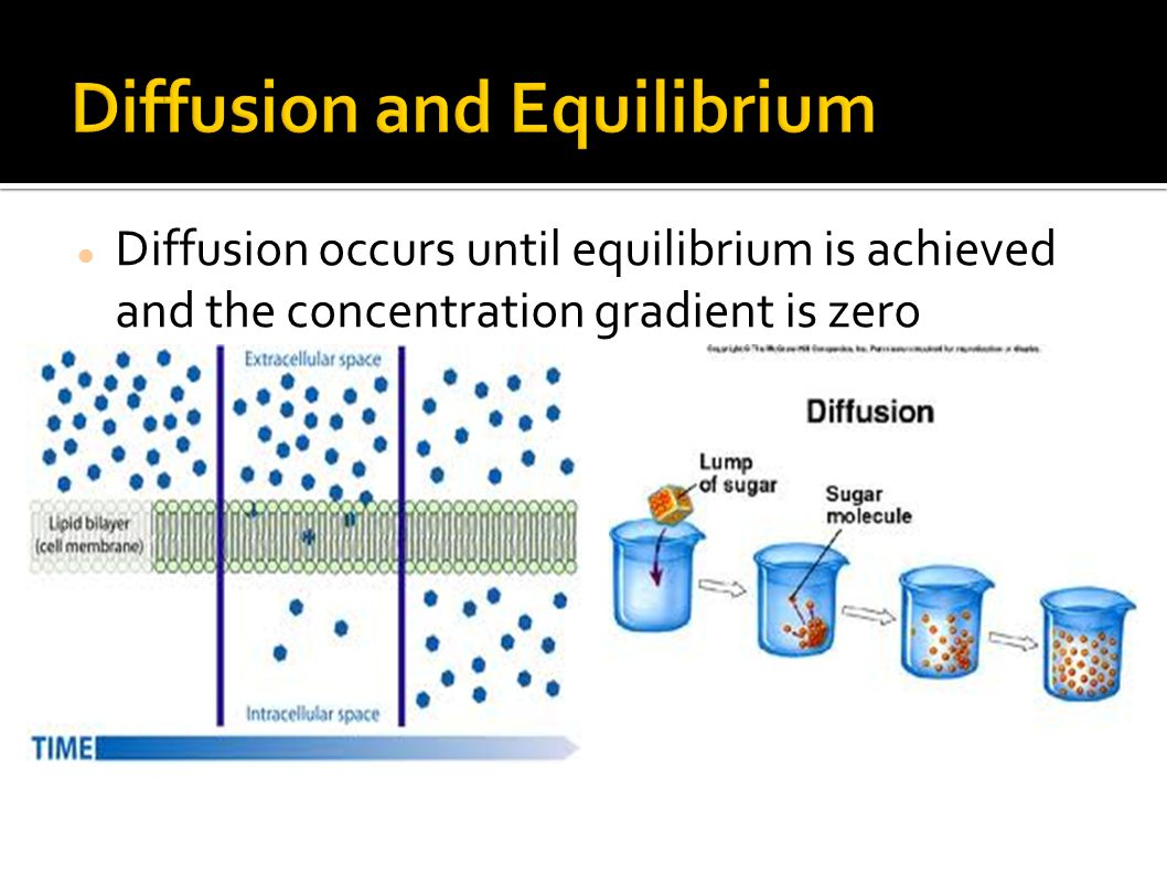Diffusion occurs until equilibrium is achieved and the concentration gradient is zero