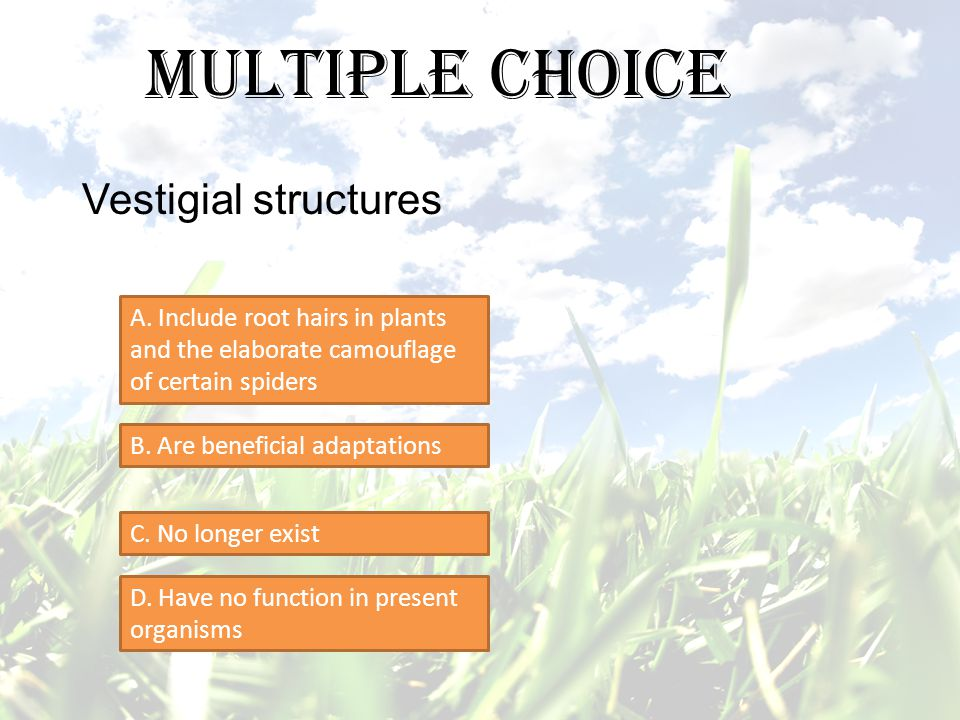 Multiple Choice Vestigial structures A. Include root hairs in plants and the elaborate camouflage of certain spiders B. Are beneficial adaptations C.
