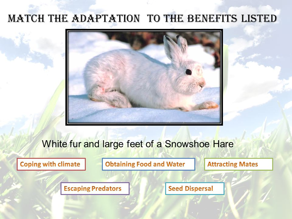White fur and large feet of a Snowshoe Hare Match the adaptation to the benefits listed