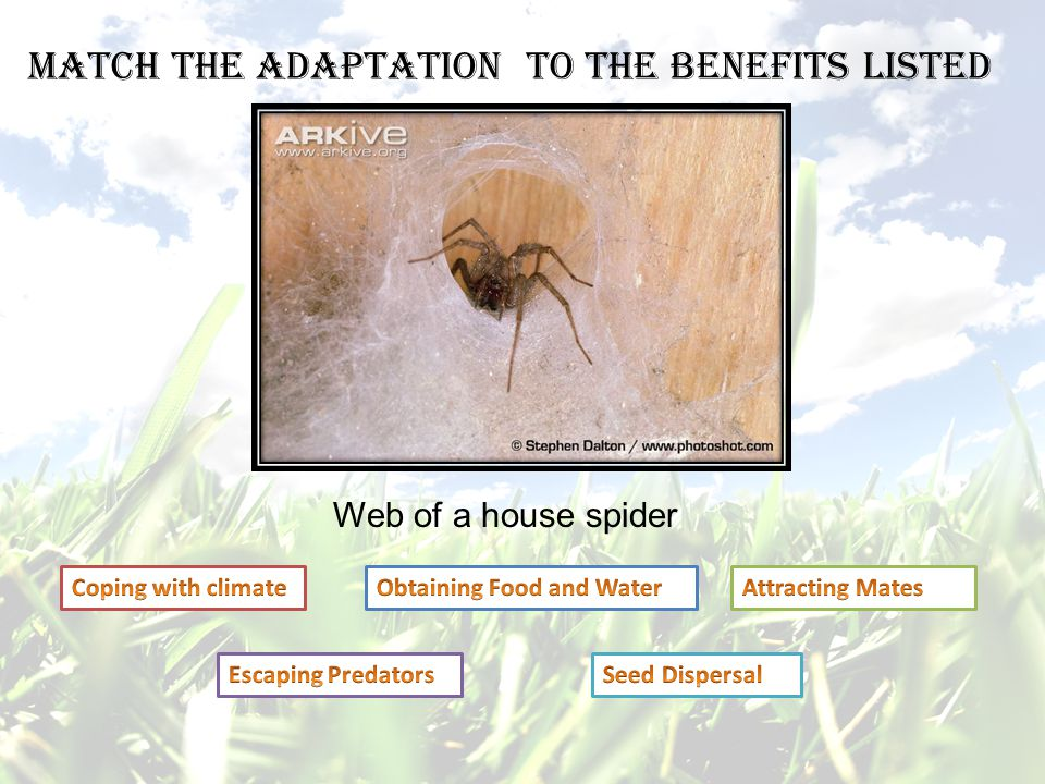 Web of a house spider Match the adaptation to the benefits listed
