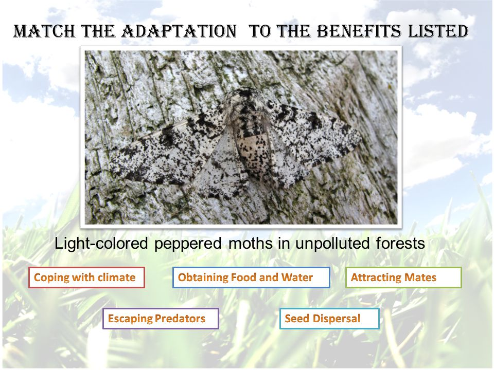 Light-colored peppered moths in unpolluted forests Match the adaptation to the benefits listed
