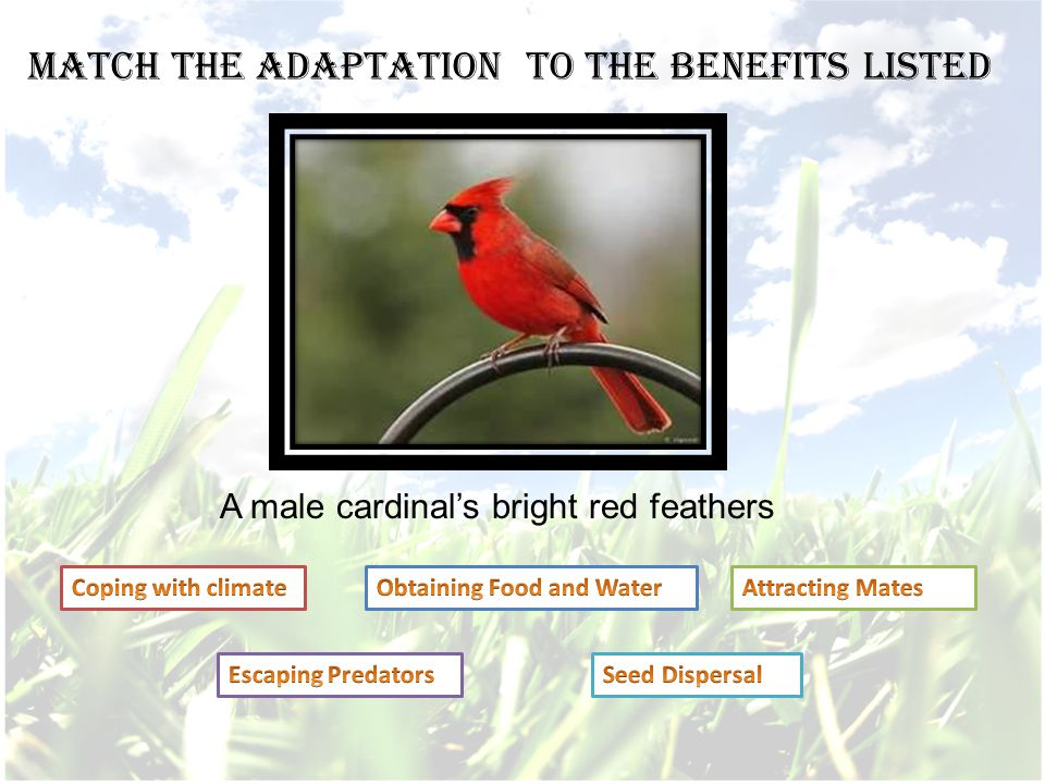 A male cardinal's bright red feathers Match the adaptation to the benefits listed