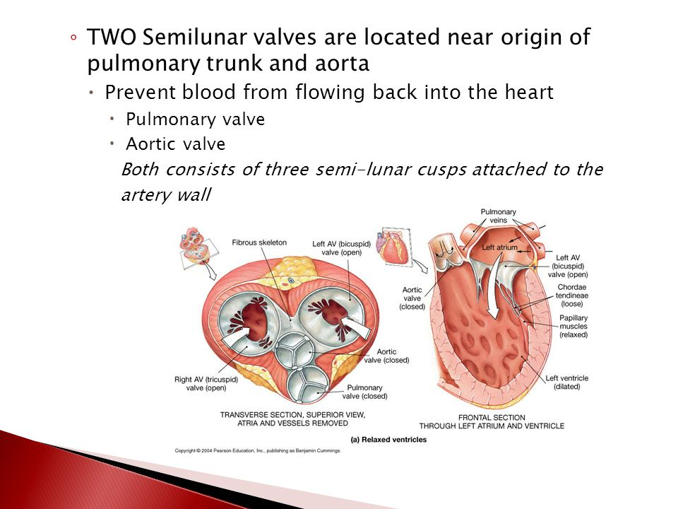 ◦ AV between the left atrium and left ventricle is called the (2) bicuspid (mitral) valve  It has two cusps
