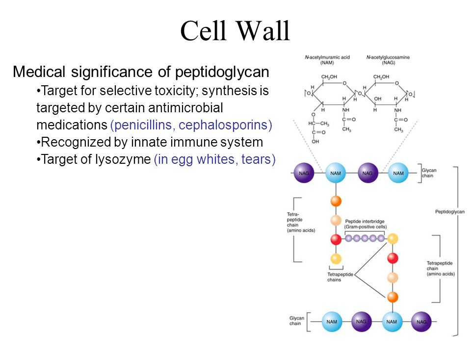 Medical significance of peptidoglycan Target for selective toxicity; synthesis is targeted by certain antimicrobial medications (penicillins, cephalosporins) Recognized by innate immune system Target of lysozyme (in egg whites, tears)