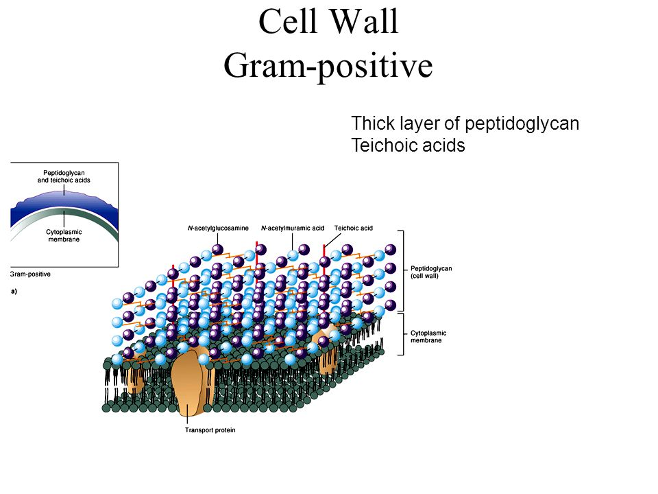 Cell Wall Gram-positive Thick layer of peptidoglycan Teichoic acids