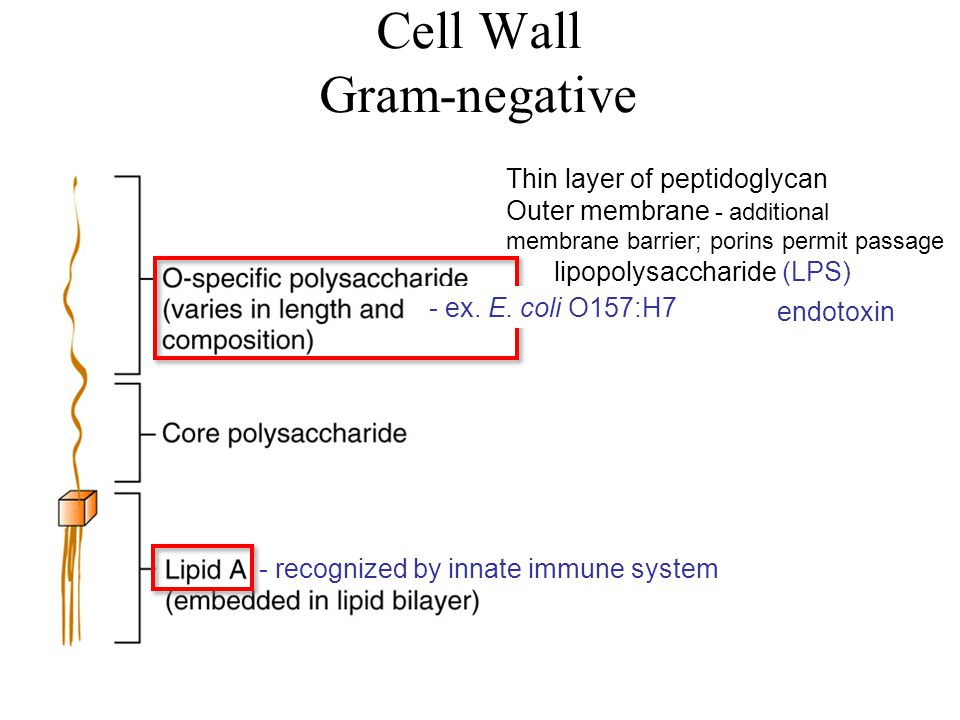 Cell Wall Gram-negative Thin layer of peptidoglycan Outer membrane - additional membrane barrier; porins permit passage lipopolysaccharide (LPS) endotoxin - recognized by innate immune system - ex.