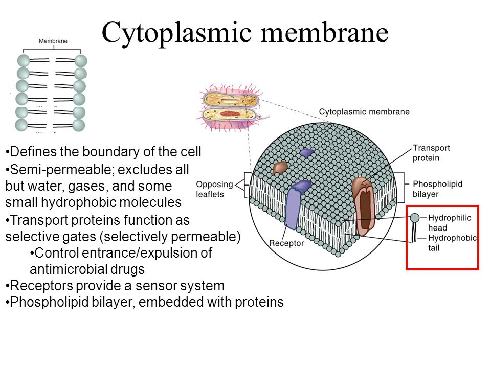 Defines the boundary of the cell Transport proteins function as selective gates (selectively permeable) Control entrance/expulsion of antimicrobial drugs Receptors provide a sensor system Semi-permeable; excludes all but water, gases, and some small hydrophobic molecules Phospholipid bilayer, embedded with proteins Cytoplasmic membrane
