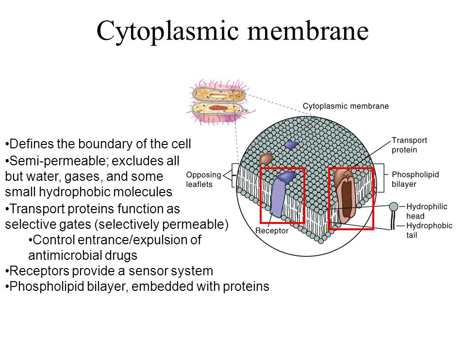 Defines the boundary of the cell Transport proteins function as selective gates (selectively permeable) Control entrance/expulsion of antimicrobial drugs Receptors provide a sensor system Semi-permeable; excludes all but water, gases, and some small hydrophobic molecules Phospholipid bilayer, embedded with proteins