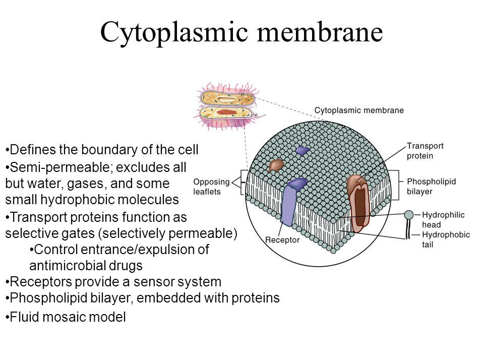 Cytoplasmic membrane Defines the boundary of the cell Transport proteins function as selective gates (selectively permeable) Control entrance/expulsion of antimicrobial drugs Receptors provide a sensor system Semi-permeable; excludes all but water, gases, and some small hydrophobic molecules Phospholipid bilayer, embedded with proteins Fluid mosaic model