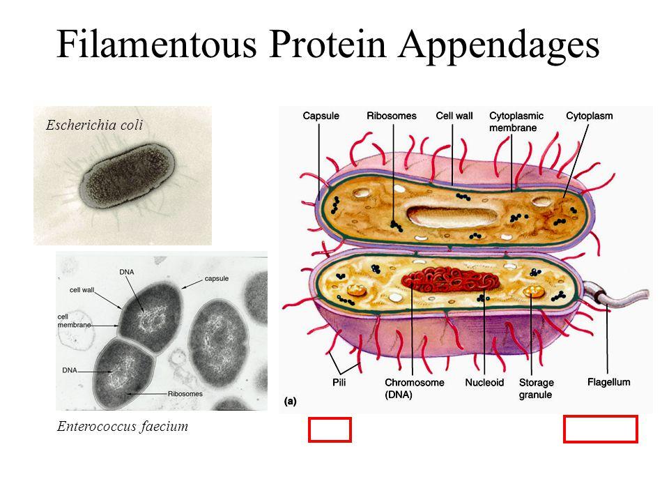 Filamentous Protein Appendages Escherichia coli Enterococcus faecium