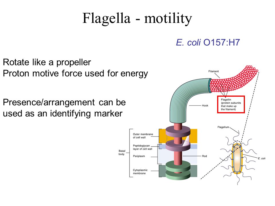 Rotate like a propeller Proton motive force used for energy Presence/arrangement can be used as an identifying marker Flagella - motility E.