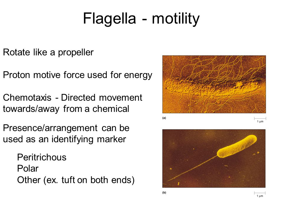 Flagella - motility Presence/arrangement can be used as an identifying marker Peritrichous Polar Other (ex.