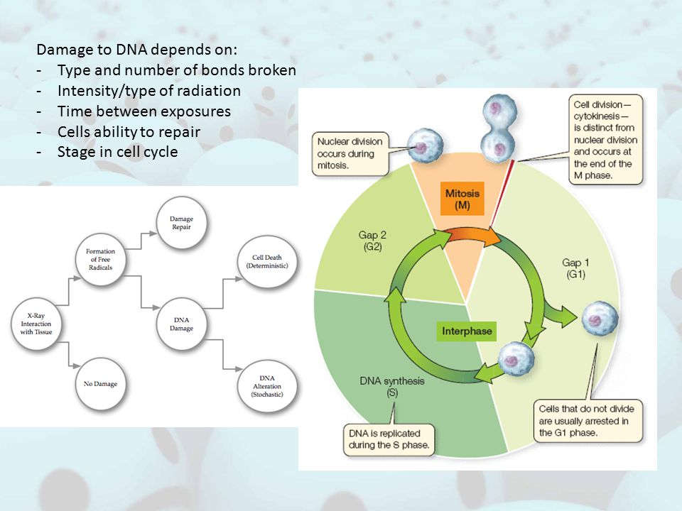 Damage to DNA depends on: -Type and number of bonds broken -Intensity/type of radiation -Time between exposures -Cells ability to repair -Stage in cell cycle