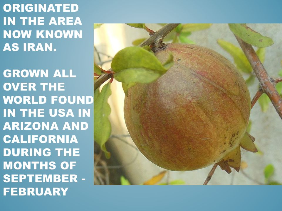 ORIGINATED IN THE AREA NOW KNOWN AS IRAN. GROWN ALL OVER THE WORLD FOUND IN THE USA IN ARIZONA AND CALIFORNIA DURING THE MONTHS OF SEPTEMBER - FEBRUAR