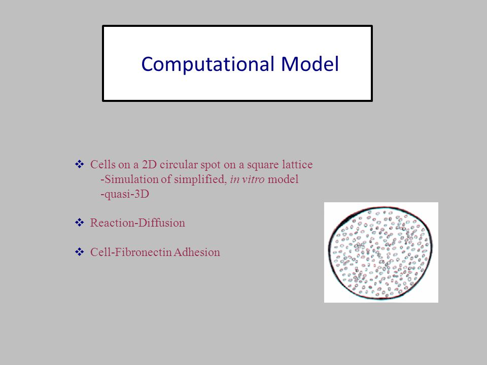 Computational Model  Cells on a 2D circular spot on a square lattice -Simulation of simplified, in vitro model -quasi-3D  Reaction-Diffusion  Cell-Fibronectin Adhesion