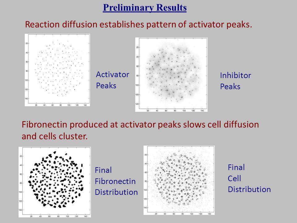 Final Fibronectin Distribution Final Cell Distribution Reaction diffusion establishes pattern of activator peaks. Activator Peaks Inhibitor Peaks Fibr