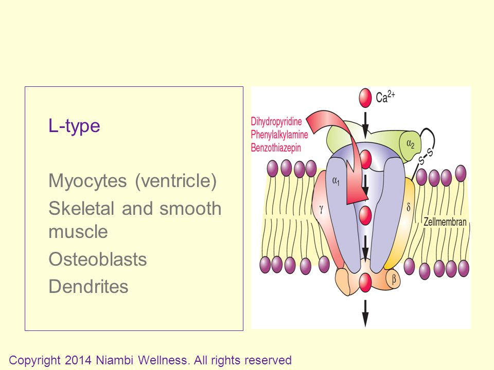 L-type Myocytes (ventricle) Skeletal and smooth muscle Osteoblasts Dendrites Copyright 2014 Niambi Wellness.