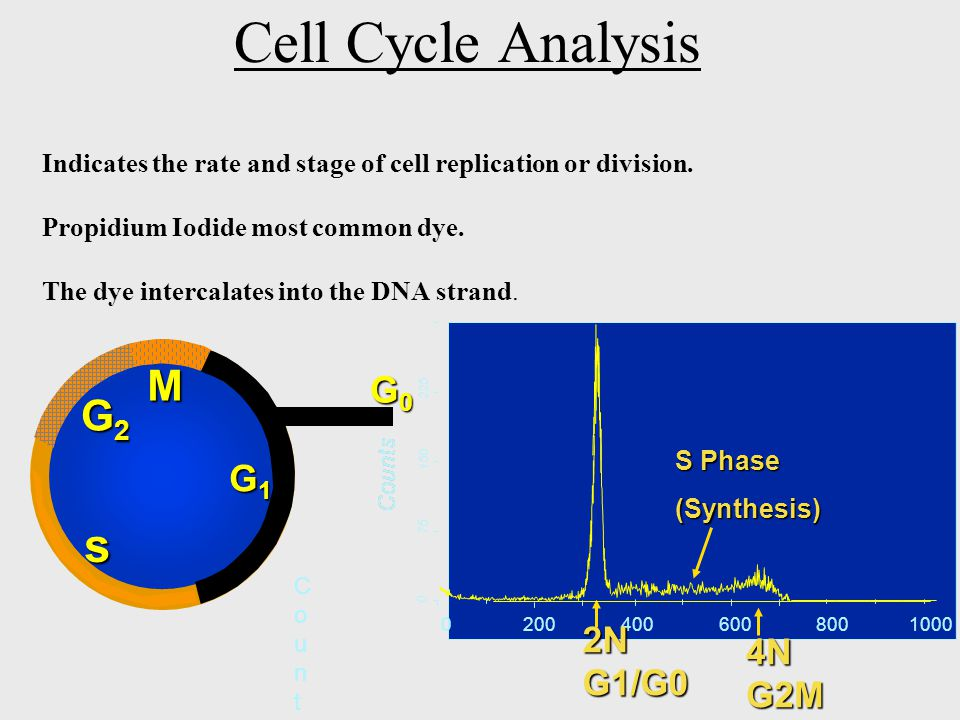 Cell Cycle Analysis Indicates the rate and stage of cell replication or division.