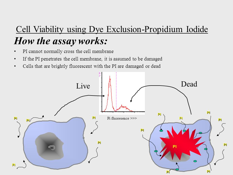 How the assay works: PI cannot normally cross the cell membrane If the PI penetrates the cell membrane, it is assumed to be damaged Cells that are brightly fluorescent with the PI are damaged or dead PI PI PI PI PI PI PI PI PI PI PI PI PI PI Cell Viability using Dye Exclusion-Propidium Iodide Pi fluoresence >>> Dead Live