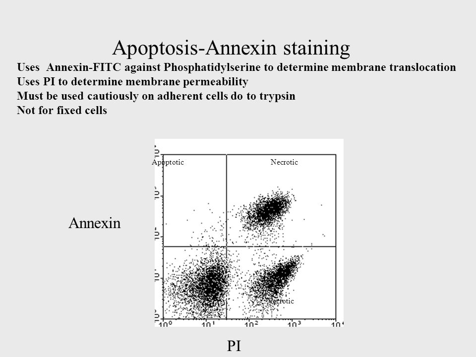 Apoptosis-Annexin staining Uses Annexin-FITC against Phosphatidylserine to determine membrane translocation Uses PI to determine membrane permeability Must be used cautiously on adherent cells do to trypsin Not for fixed cells PI Annexin ApoptoticNecrotic
