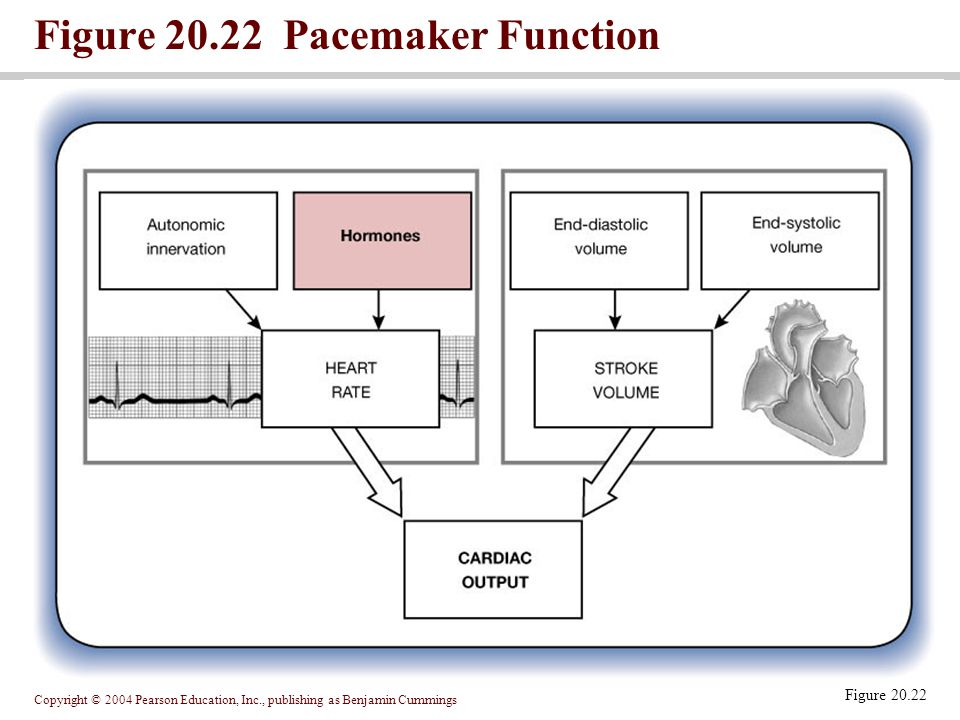 Copyright © 2004 Pearson Education, Inc., publishing as Benjamin Cummings Figure 20.22 Pacemaker Function Figure 20.22