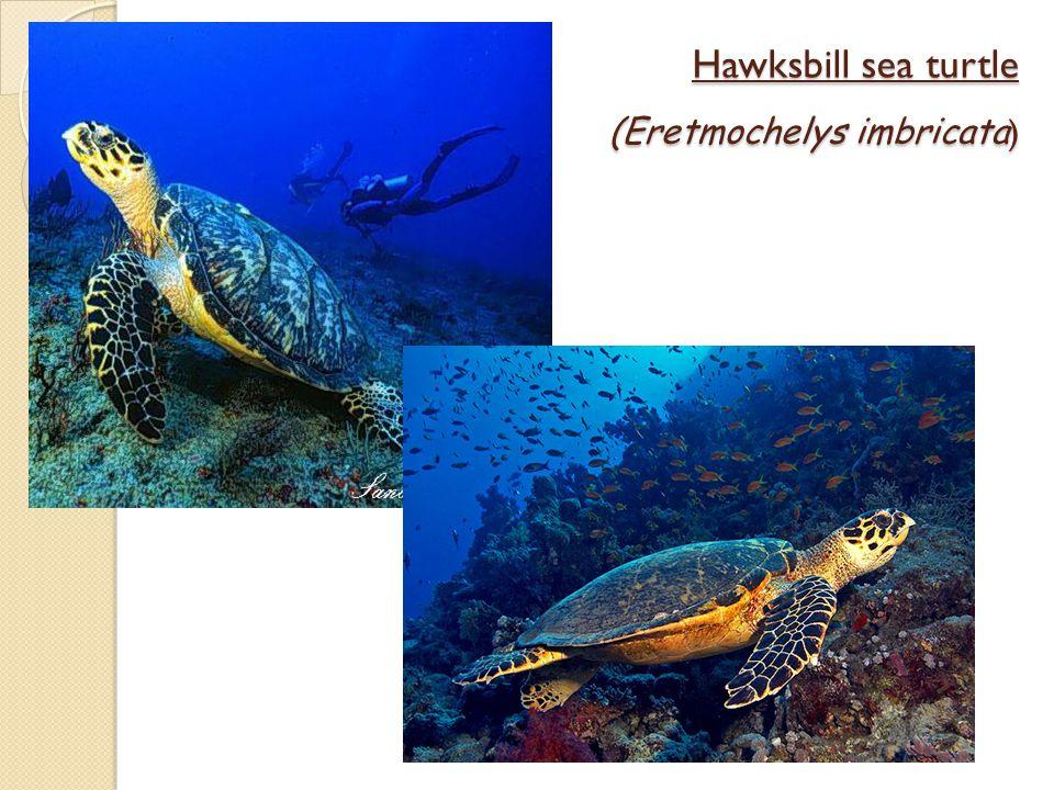 Hawksbill sea turtle (Eretmochelys imbricata )