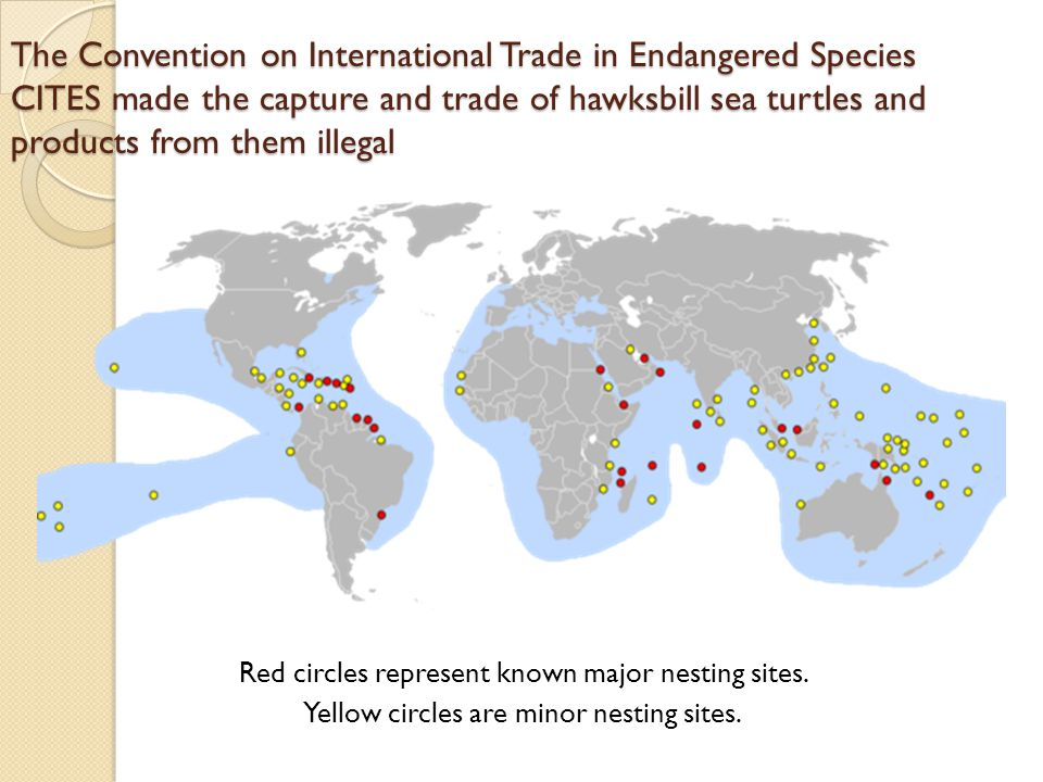 The Convention on International Trade in Endangered Species CITES made the capture and trade of hawksbill sea turtles and products from them illegal Red circles represent known major nesting sites.