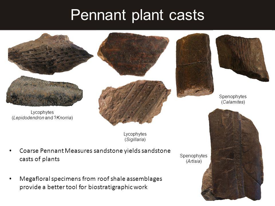 Pennant plant casts Lycophytes (Lepidodendron and ?Knorria) Lycophytes (Sigillaria) Spenophytes (Calamites) Spenophytes (Artisia) Coarse Pennant Measu