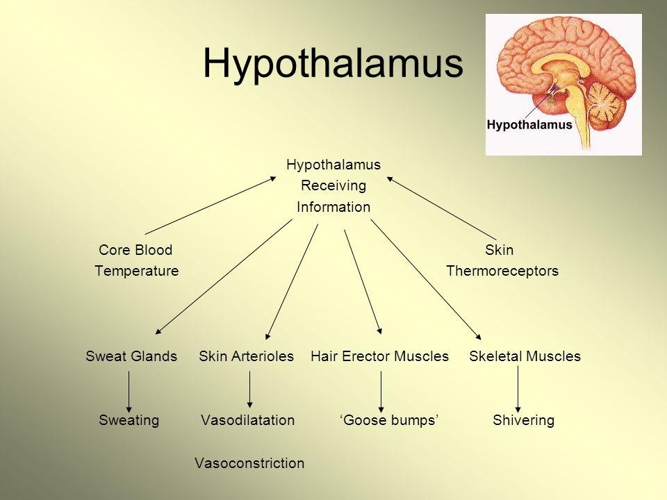 Hypothalamus Receiving Information Core Blood Skin Temperature Thermoreceptors Sweat Glands Skin Arterioles Hair Erector Muscles Skeletal Muscles Swea