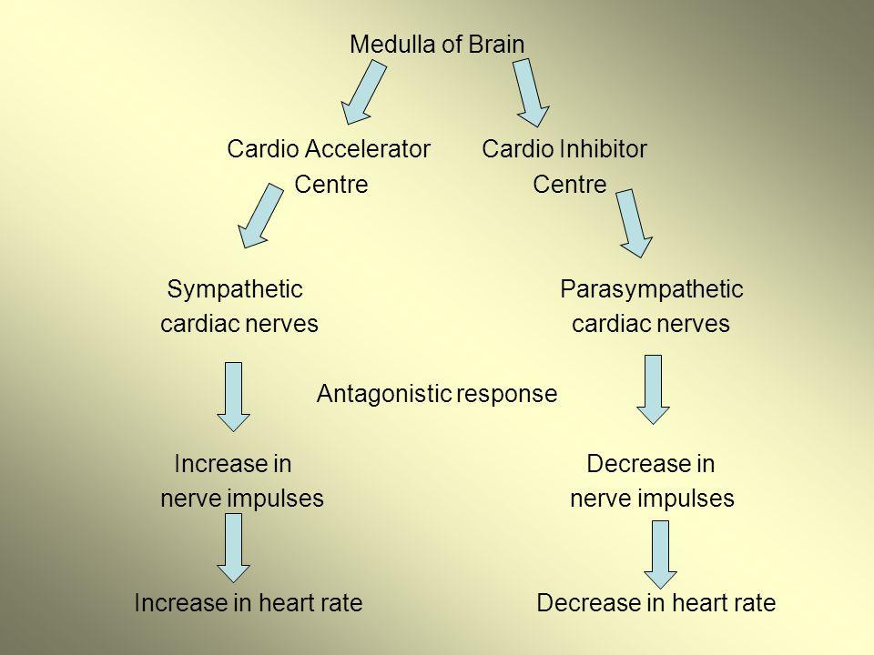Medulla of Brain Cardio Accelerator Cardio Inhibitor Centre Centre Sympathetic Parasympathetic cardiac nerves cardiac nerves Antagonistic response Inc