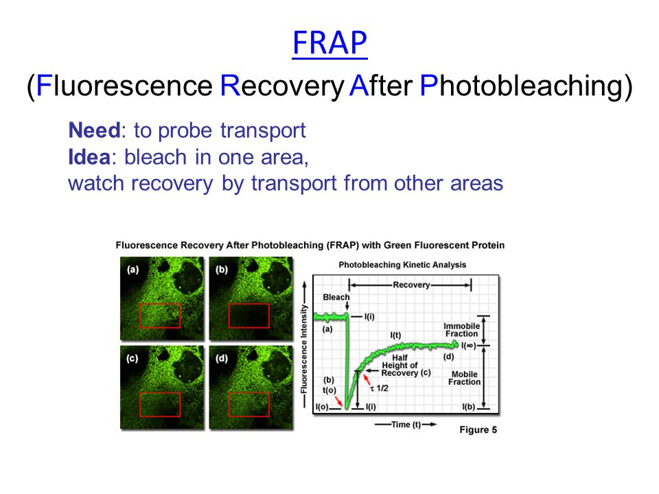 Need: to probe transport Idea: bleach in one area, watch recovery by transport from other areas FRAP (Fluorescence Recovery After Photobleaching)