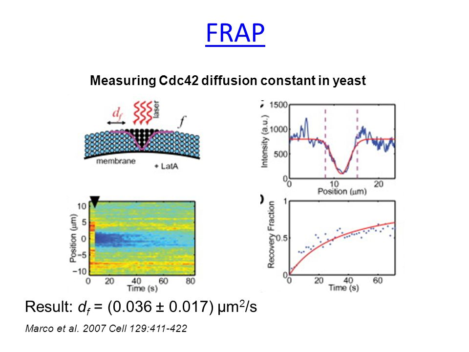 Measuring Cdc42 diffusion constant in yeast Result: d f = (0.036 ± 0.017) μm 2 /s Marco et al.