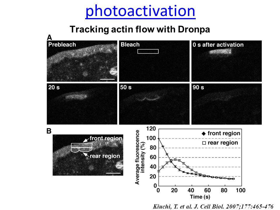 Tracking actin flow with Dronpa Kiuchi, T. et al. J. Cell Biol. 2007;177:465-476 photoactivation
